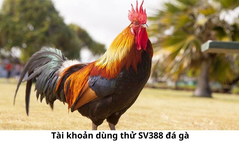 Tài khoản dùng thử SV388 đá gà